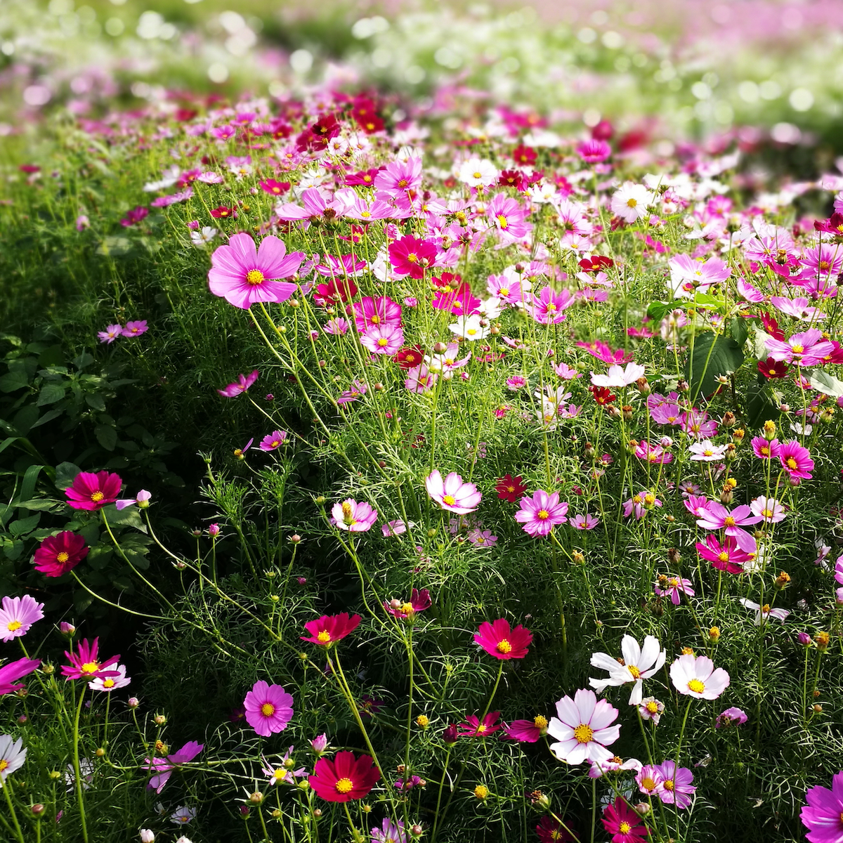 Pink Cosmos Flowers Growing at Flower Farm
